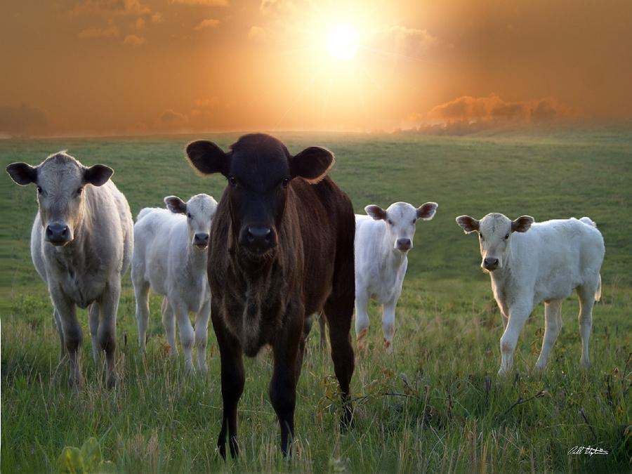Calves Photograph - Blackie by Bill Stephens