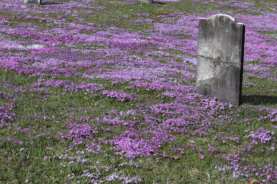 Tombstone Photograph - Blank Colonial Tombstone Amidst Graveyard Phlox by John Stephens