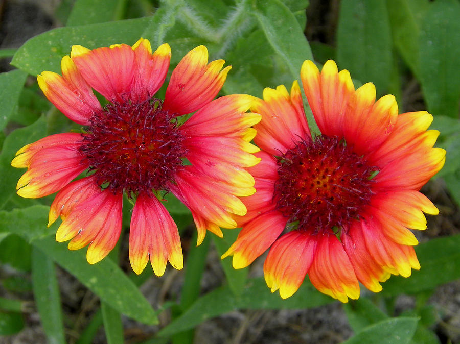 Nature Photograph - Blanket Flowers by Judy Wanamaker