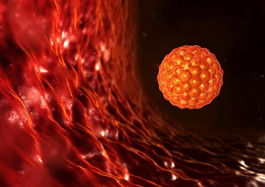 Blastocyst Photograph - Blastocyst In The Uterus by David Mack