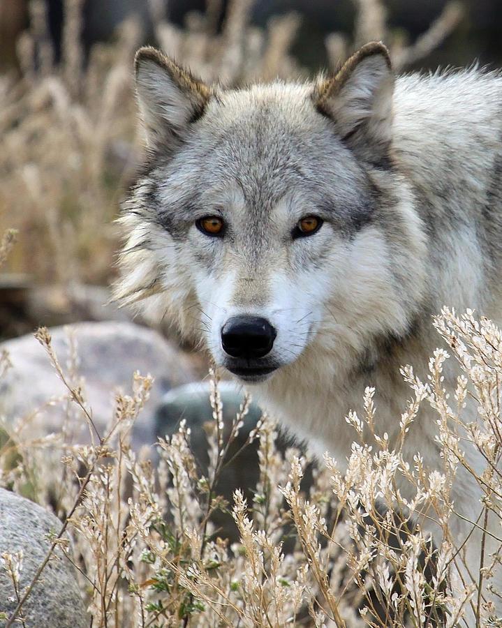 Wolf Photograph - Blending Wolf  by Steve McKinzie