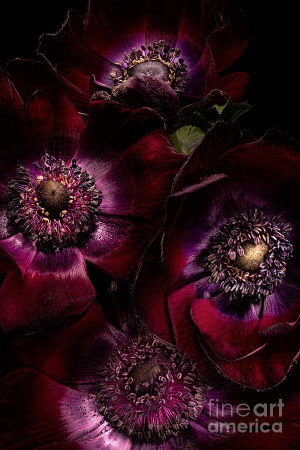 Anemone Photograph - Blood Red Anemones by Ann Garrett