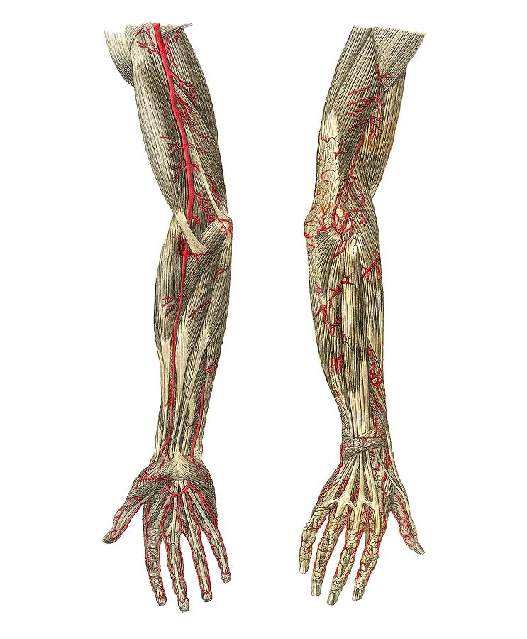 Anatomy Photograph - Blood Vessels Of The Arms, Artwork by Mehau Kulyk