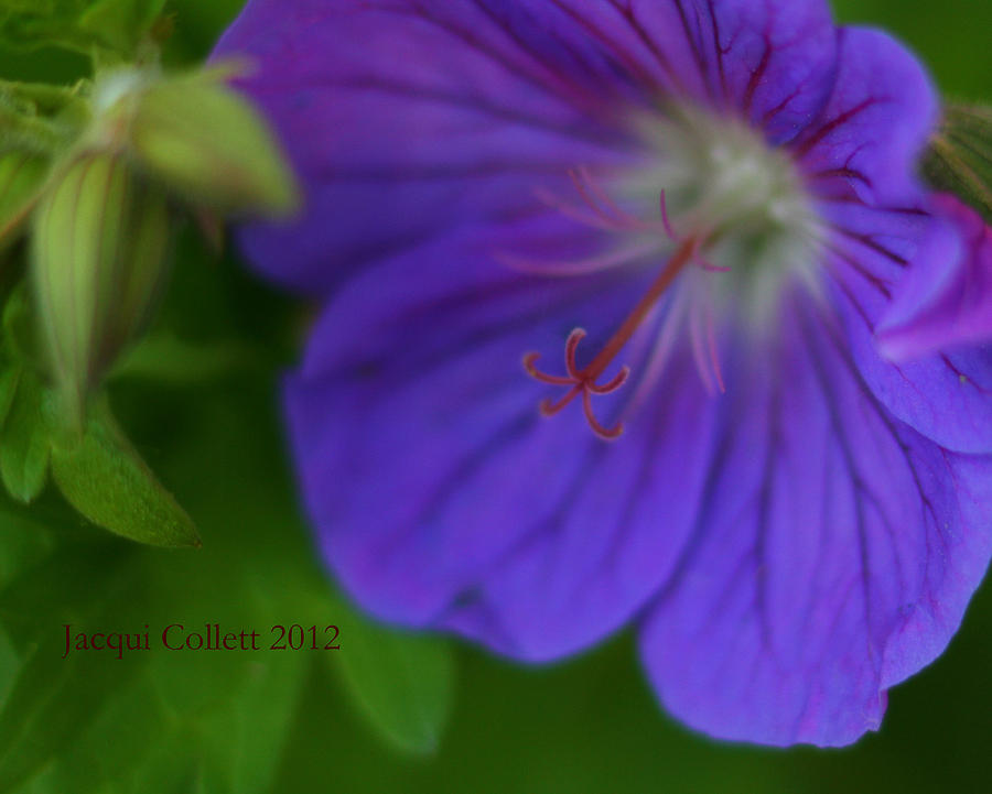 Flower Photograph - Bloom IIi by Jacqui Collett