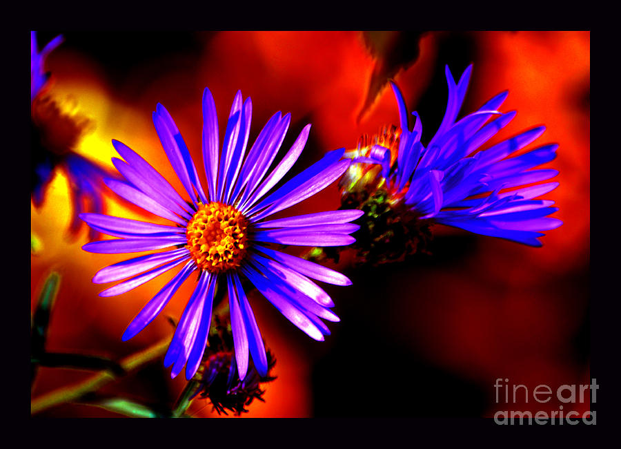Asters Photograph - Blooming Asters by Susanne Still