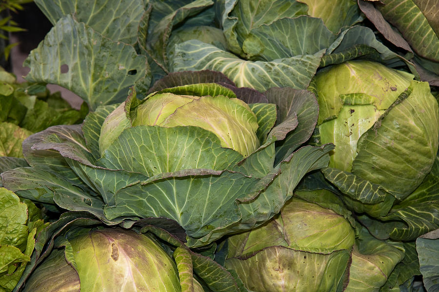 Cabbage Photograph - Blooming Cabbage Heads by Dina Calvarese