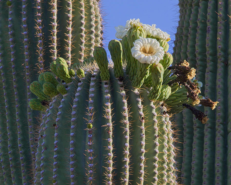 Arizona Photograph - Blooming Saguaro   Sonora Desert by Nathan Mccreery