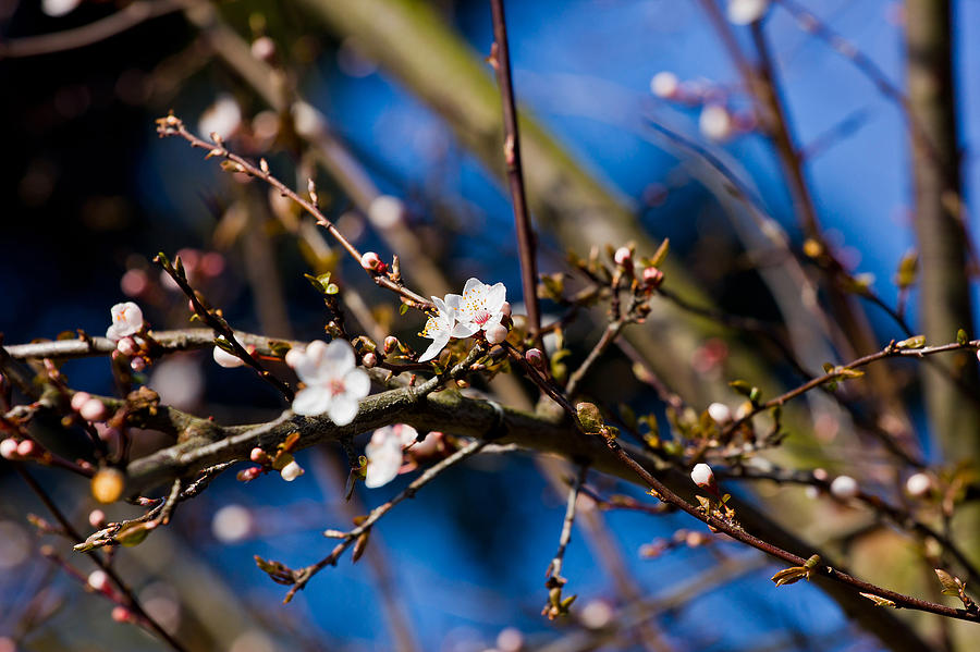 Tree Photograph - Blooming Tree With White Flowers by Pati Photography