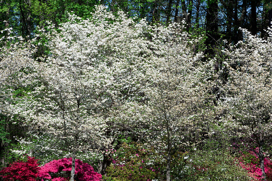 Dogwood Photograph - Blossom Explosion by Christopher McPhail