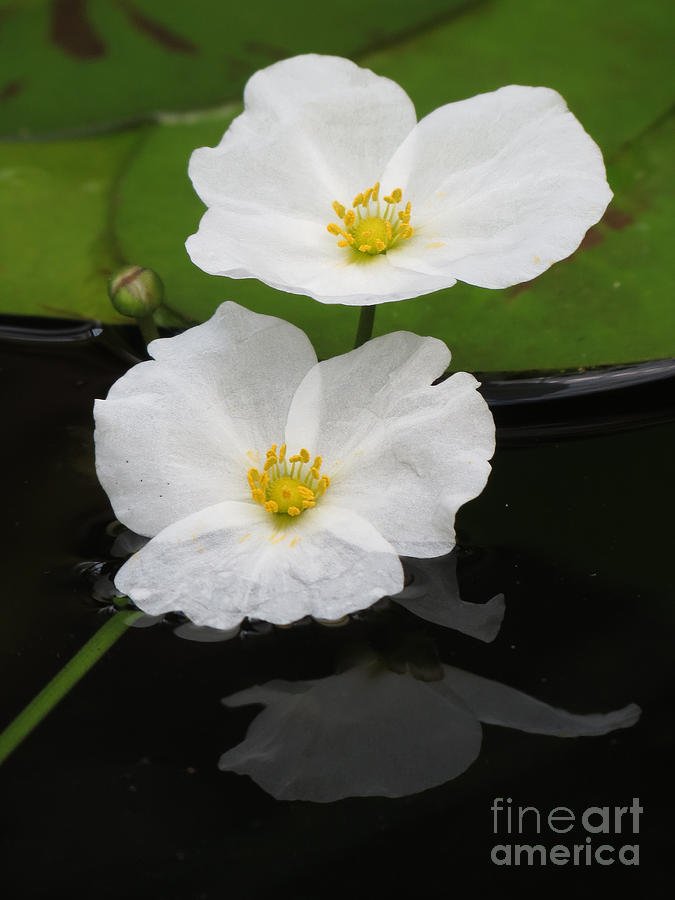 White Photograph - Blossom Reflection by Darleen Stry