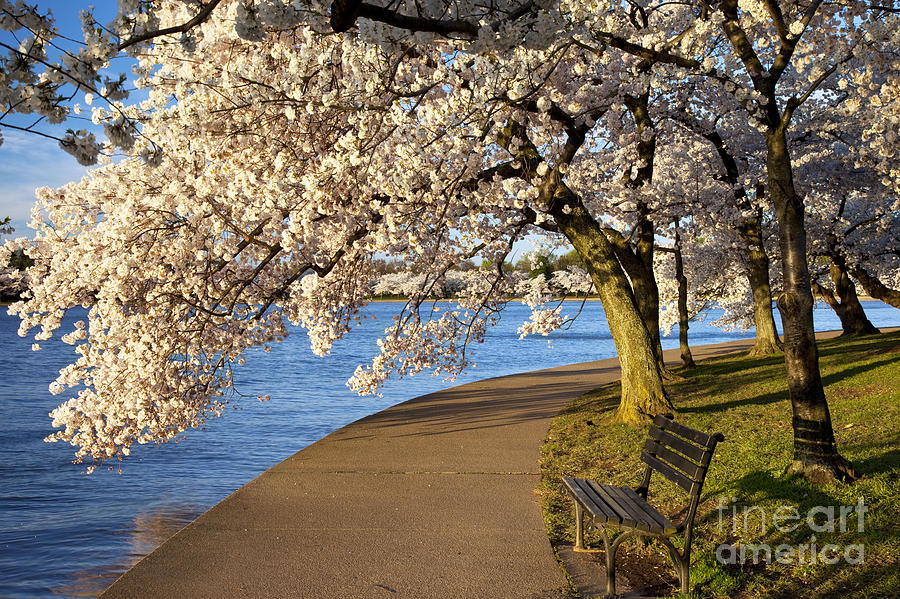 Cherry Blossom Photograph - Blossoming Cherry Trees by Brian Jannsen