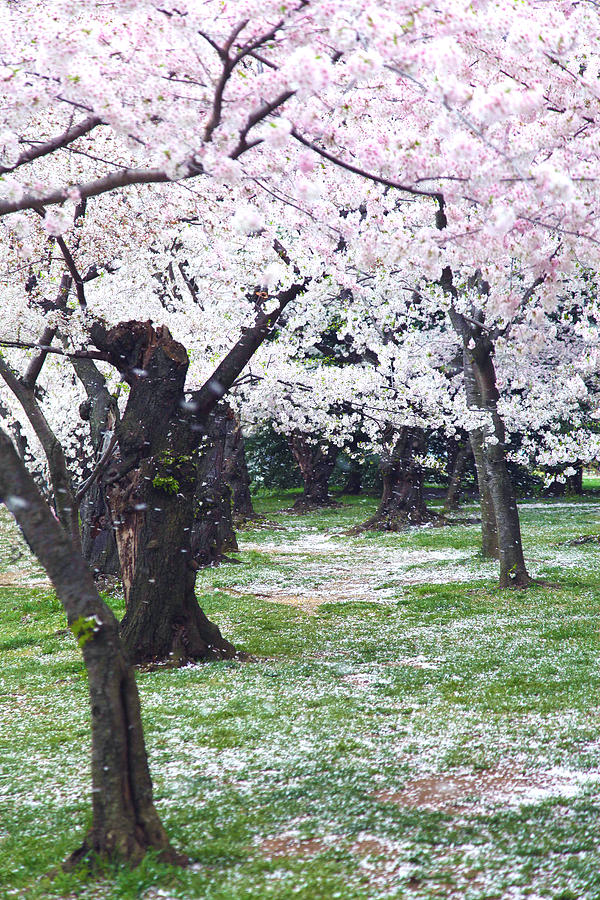 Cherry Blossoms Photograph - Blossoms Of The Heart by Mitch Cat