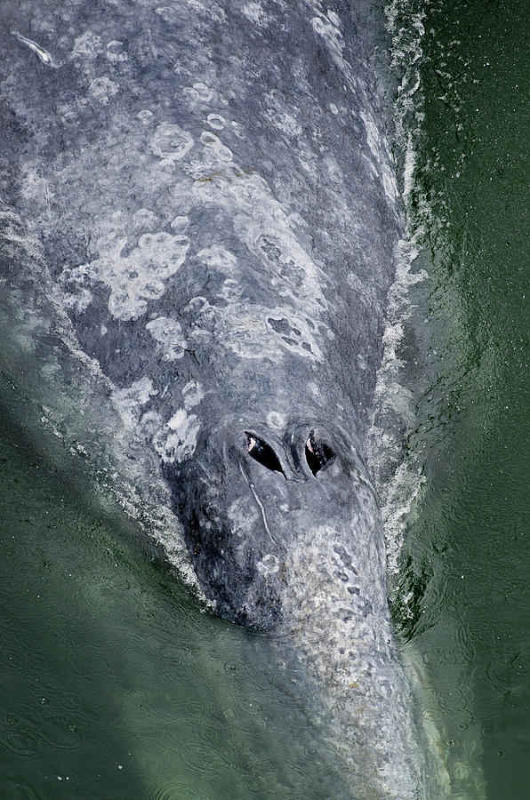 Whale Photograph - Blow-hole by Greg Nyquist