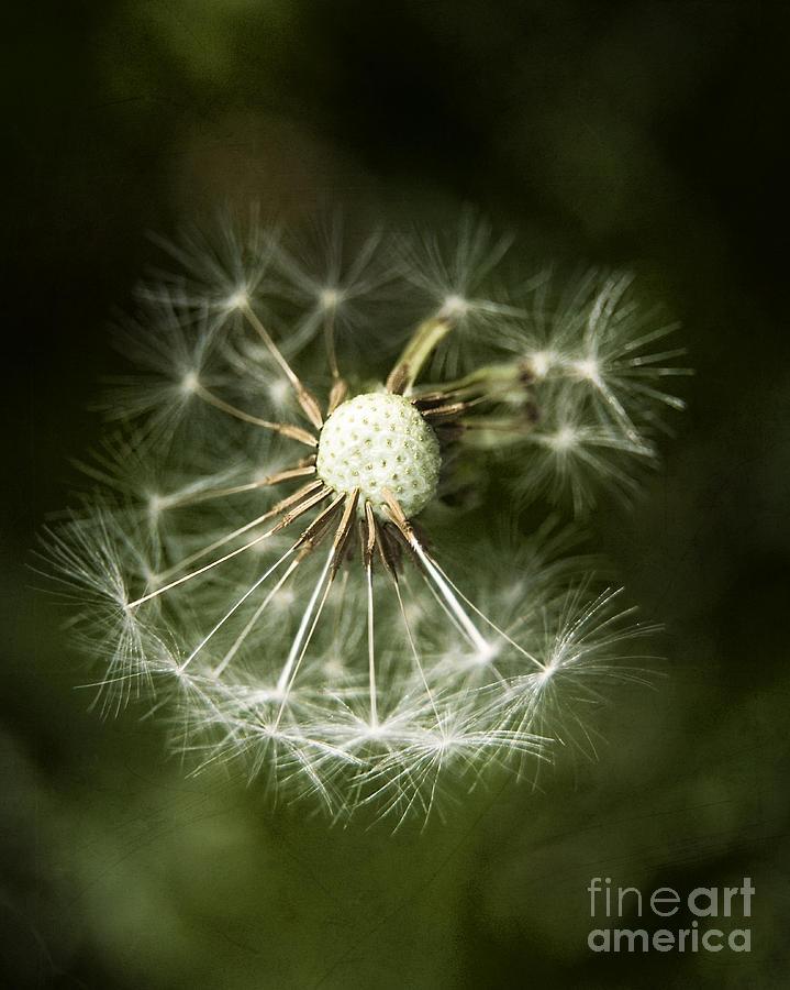 Dandelion Photograph - Blown Dandelion by Agnieszka Kubica