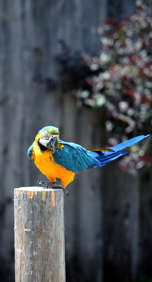 Blue and Gold Macaw by Rafay Zafer