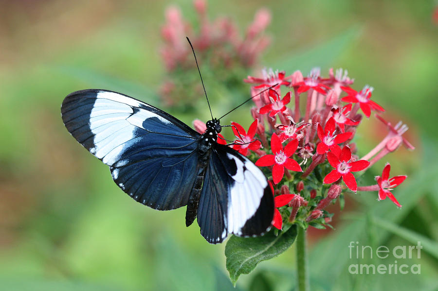 Blue And White Tropical Long Winged Butterfly On Flower Photograph
