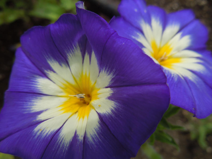 Blue And Yellow Petunias Photograph By Peg Toliver
