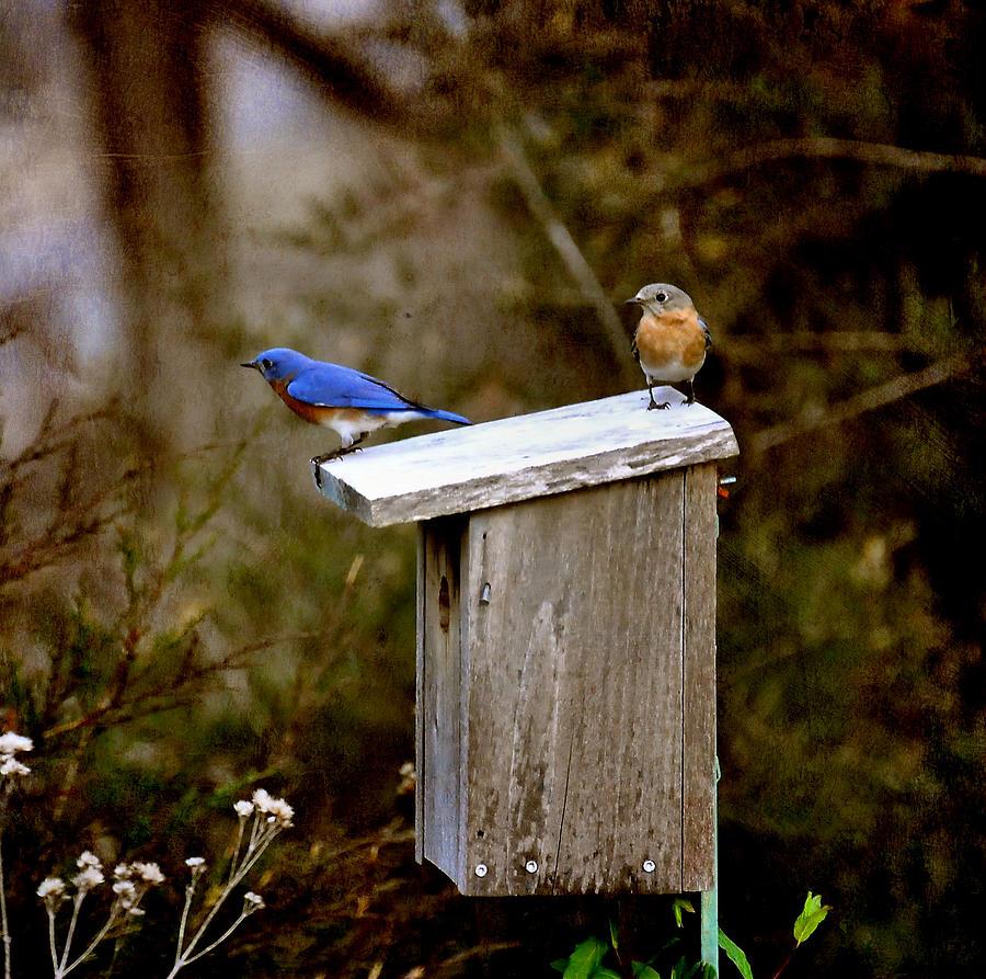 Blue Birds Photograph - Blue Birds by Todd Hostetter