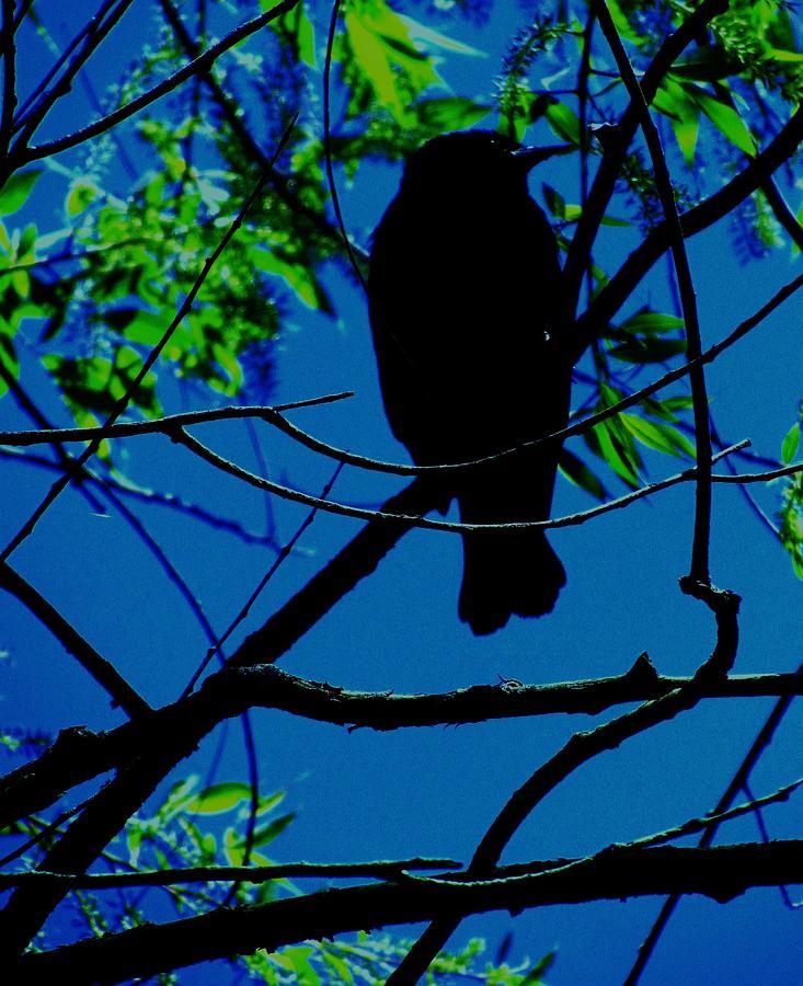 Blue-black-bird Photograph by Todd Sherlock