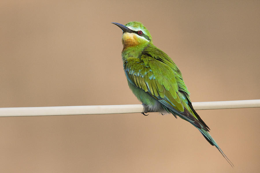 Blue Cheeked Bee Eater Hawf Protected Photograph by Sebastian Kennerknecht