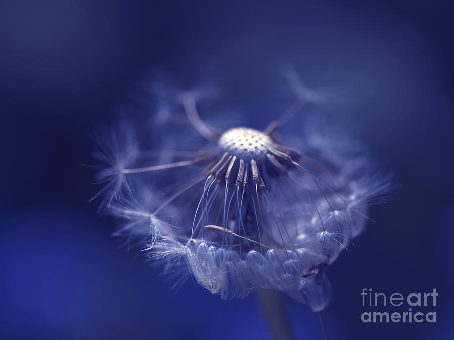 Dandelion Photograph - Blue Dandy by Sharon Talson