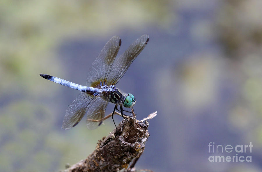 Dragonfly Photograph - Blue Dasher Dragonfly by Chris Hill