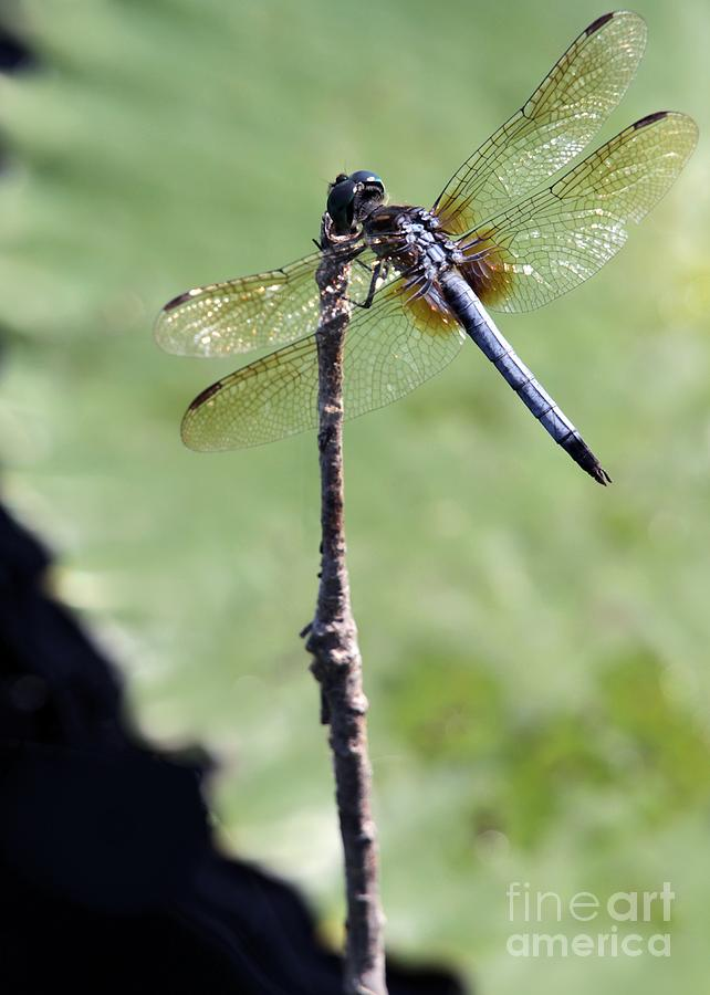 Dragonfly Photograph - Blue Dasher Dragonfly Dancer by Sabrina L Ryan