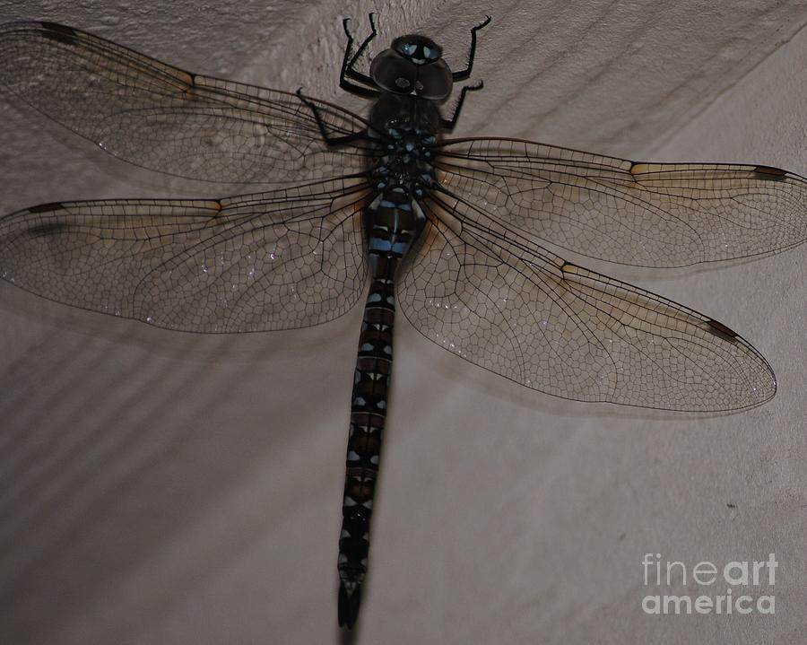 Dragonfly Photograph - Blue Dragonfly by Paulina Roybal