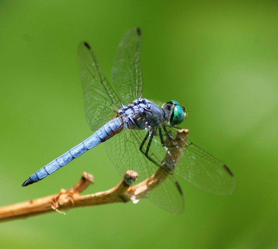 Blue Dragonfly Start Up Photograph by Meeli Sonn