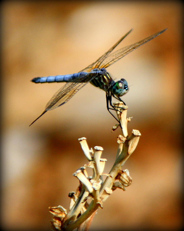 Dragonfly Photographs Photograph - Blue Dragonfly by Tam Graff