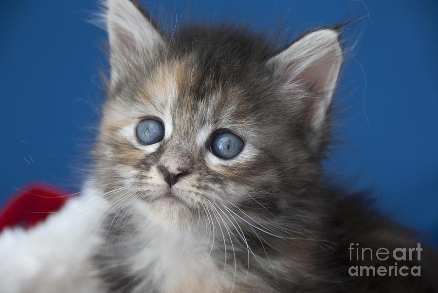 Kitten Photograph - Blue  by Elaine Hillson