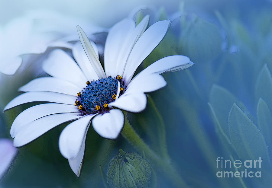 Blue Eyed African Daisy Photograph