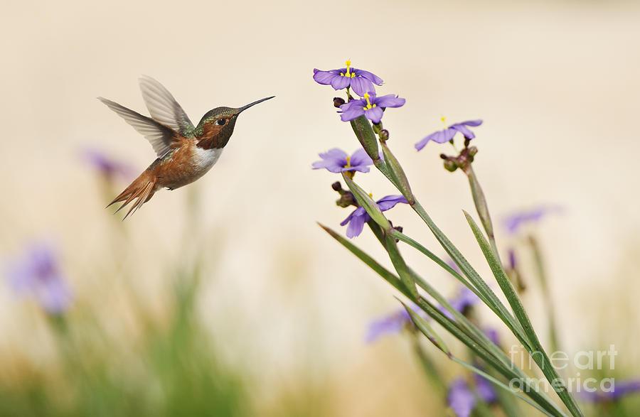 Rufous Hummingbird Photograph - Blue-eyed Grass Wildflowers And Rufous Hummingbird by Susan Gary