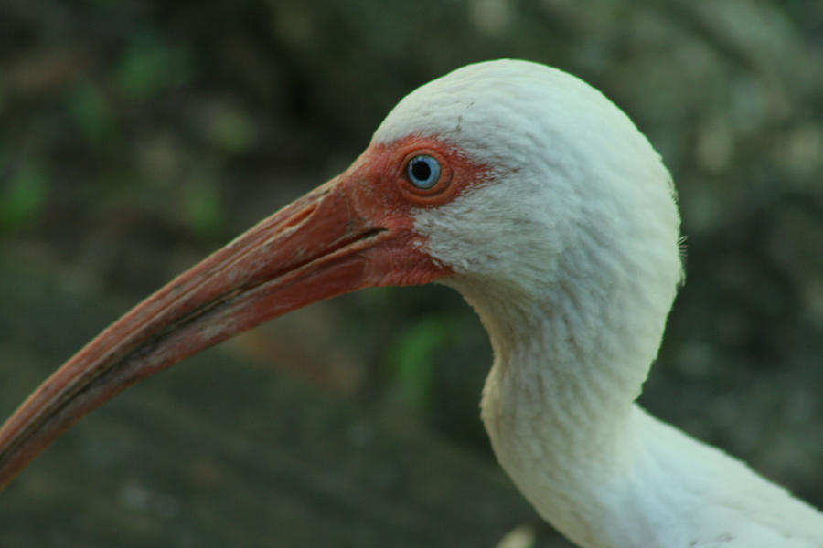 American White Ibis Photograph - Blue Eyes by Sean Green