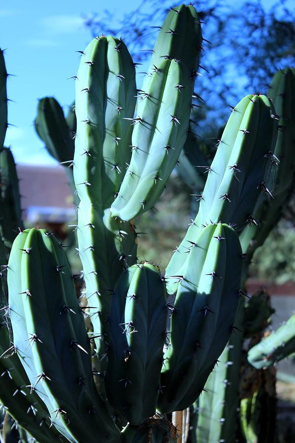 Desert Photograph - Blue Flame Cactus by M Diane Bonaparte