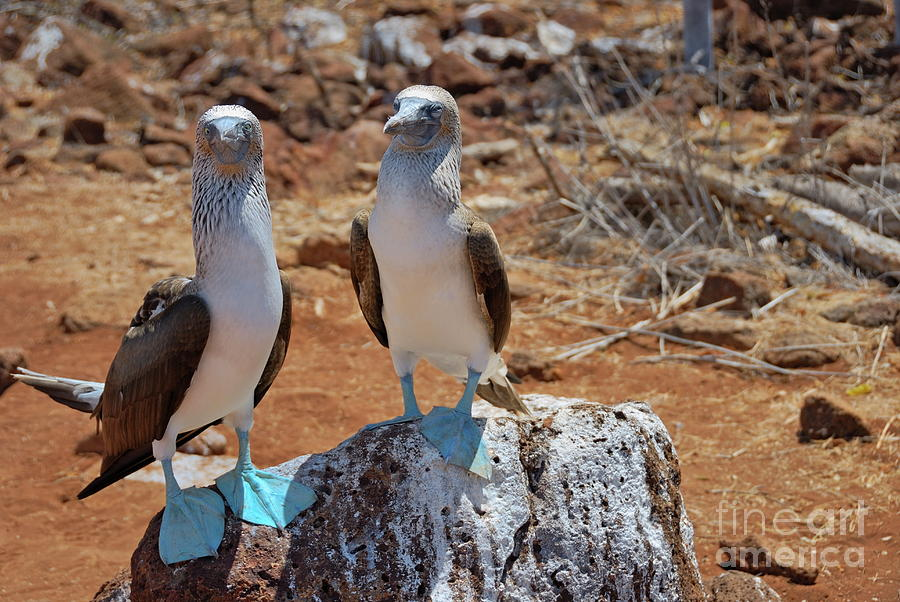 Togetherness Photograph - Blue-footed Boobies On Rock  by Sami Sarkis