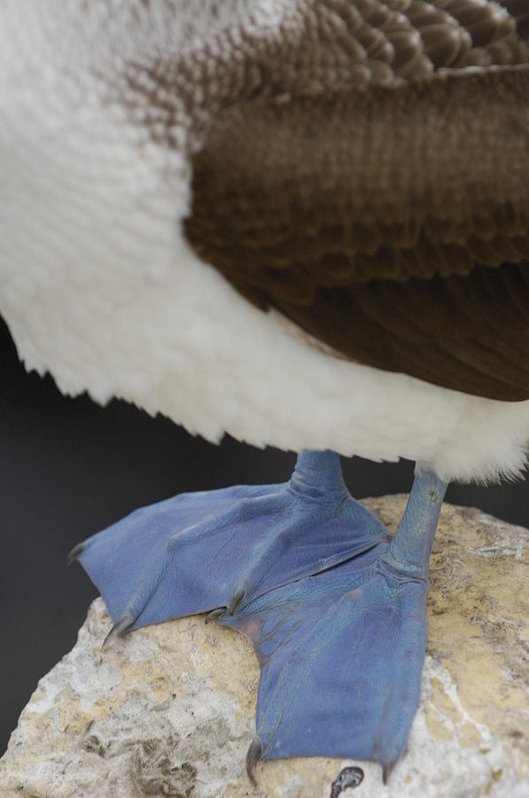 Mp Photograph - Blue-footed Booby Sula Nebouxii by Pete Oxford