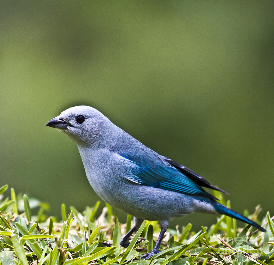 Tanager Photograph - Blue-grey-tanager by Heiko Koehrer-Wagner