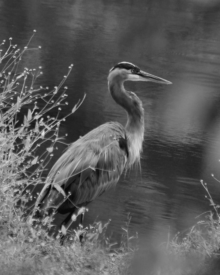 Paul Lyndon Phillips Photograph - Blue Heron Observing Pond - 51006955m  by Paul Lyndon Phillips