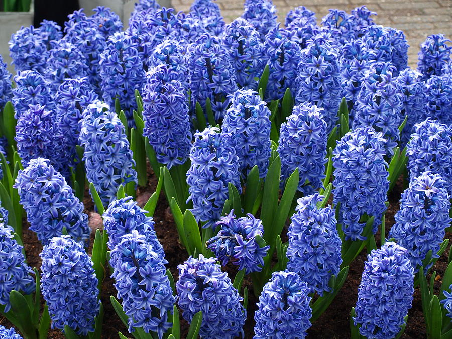Flowers Photograph - Blue Hyacinth by Larry Krussel