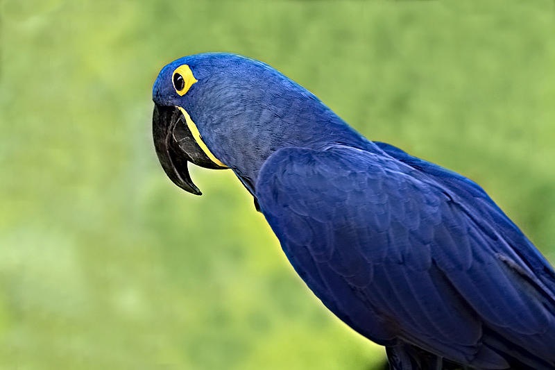 blue hyacinth macaw parrot photograph by kathy clark