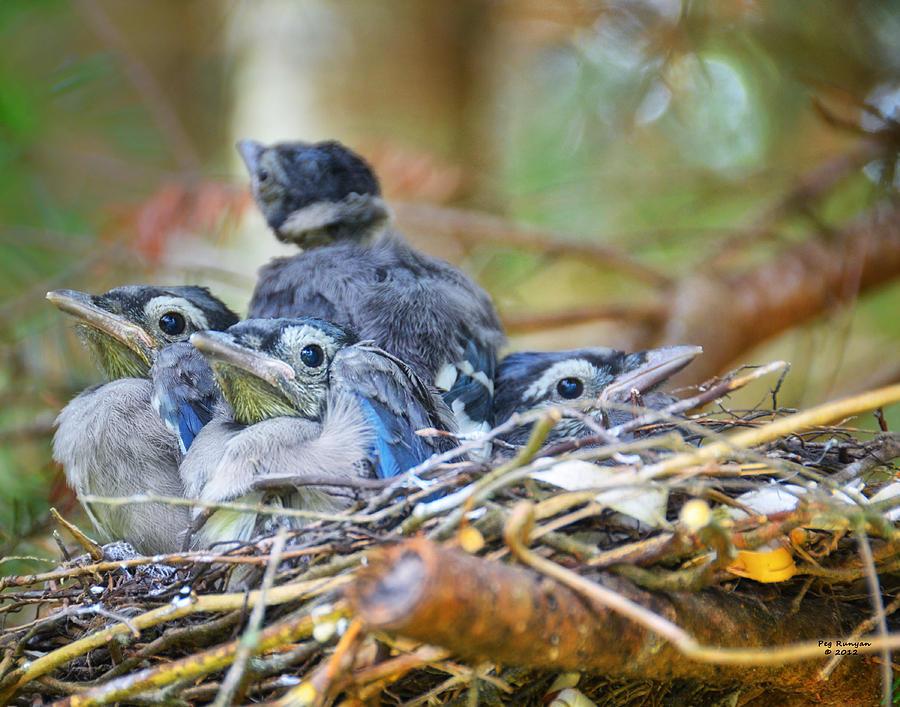 Blue Jay Babies Photograph by Peg Runyan