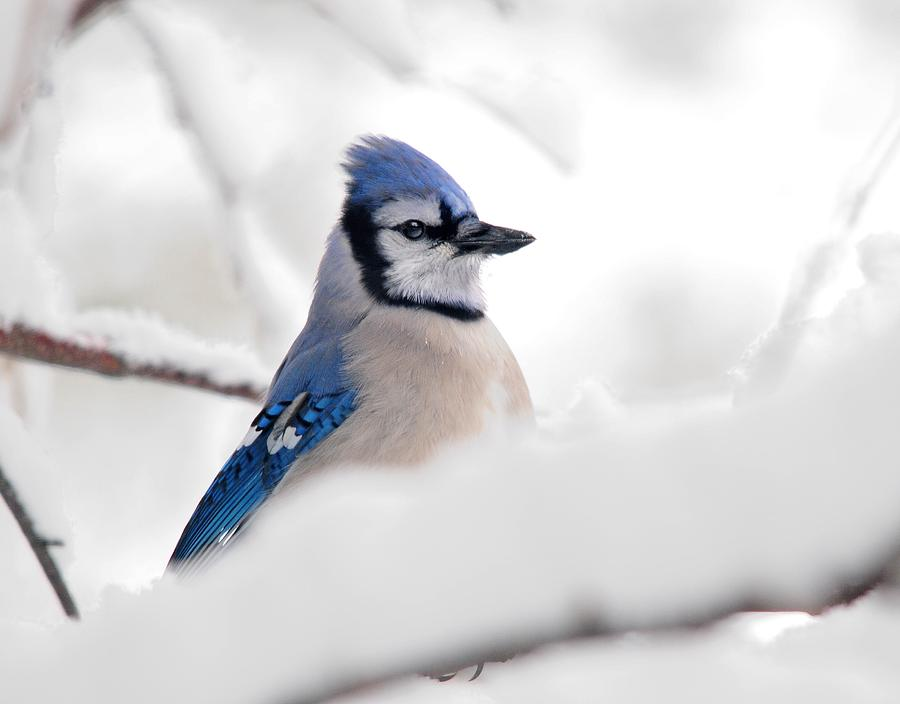 Blue Jay In Snow Photograph By John Savage