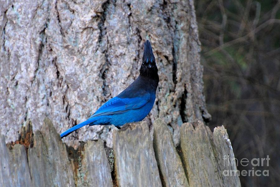 Bluejay Photograph - Blue Jay by Marsha Thornton