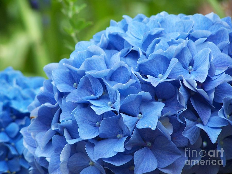 Hydrangea Photograph - Blue Madeira Hydrangea by Patricia Land