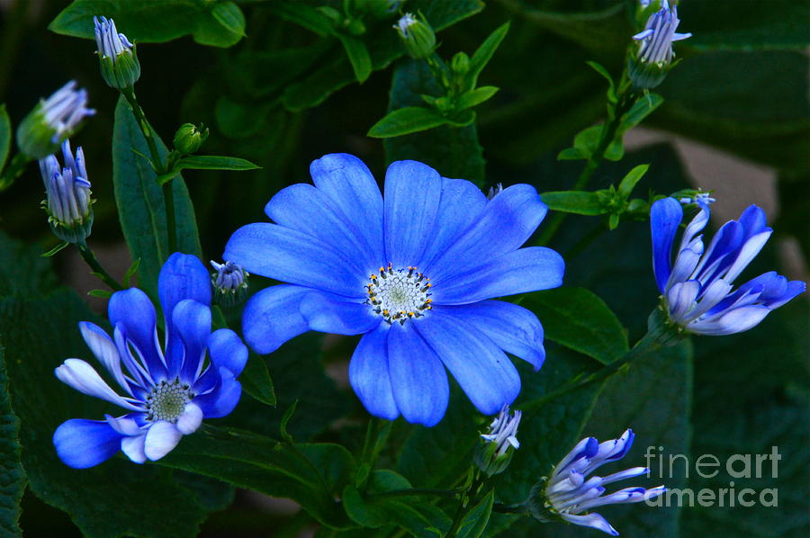 Asters Photograph - Blue Magic by Byron Varvarigos