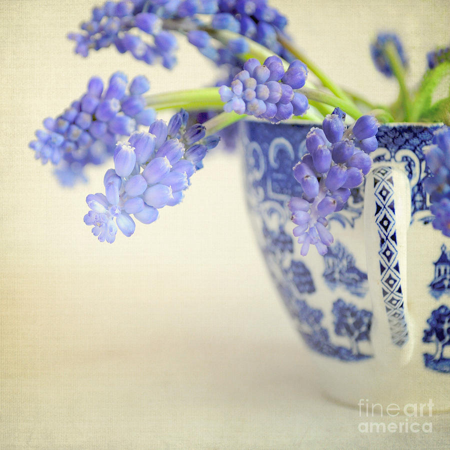 Muscari Photograph - Blue Muscari Flowers In Blue And White China Cup by Lyn Randle