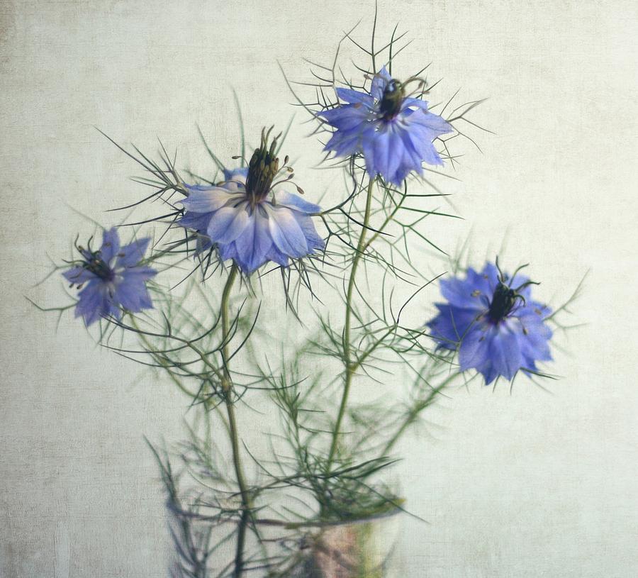 Horizontal Photograph - Blue Nigella Sativa Flowers by By Julie Mcinnes