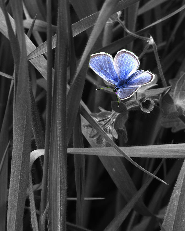 Butterfly Photograph - Blue on blk 050911 9667  by Torrey E Smith