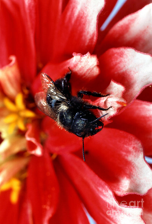 Blue Orchard Bee Photograph - Blue Orchard Bee by Science Source
